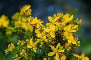 Билки при стрес -жълт кантарион