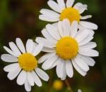 Лайката - една от универсалните билки